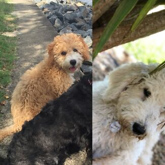 Spoodle Puppies- loyal, loving , low shedding , family puppies