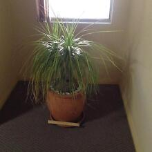 Plant and pot - one of several Baulkham Hills The Hills District Preview