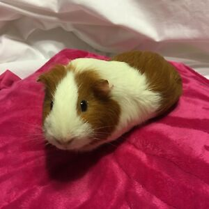 Guinea pig for sale!