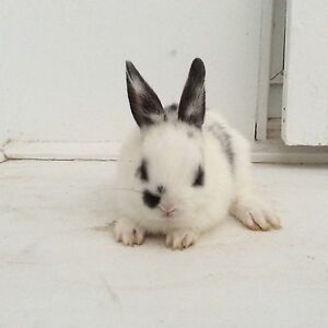 Two for $40 half dwarf rabbit Noble Park Greater Dandenong Preview