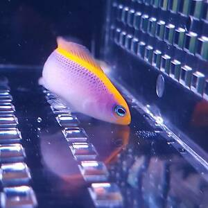 Sunrise Dottyback $120 / marine fish / saltwater fish / coral Cabramatta West Fairfield Area Preview