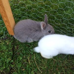 Baby dwarf bunnies for sale