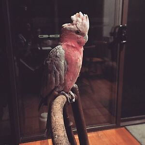 LOST Galah Merewether area Merewether Newcastle Area Preview
