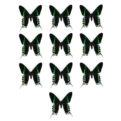 LOT OF 10 Urania leilus REAL Dayflying Moth WHOLESALE! Unmounted Art Craft