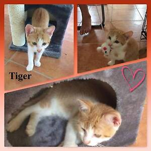 Tiger - Soquilichi Rescue Ranch Morayfield Caboolture Area Preview