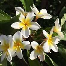 White Frangipani Plants For Sale Bull Creek Melville Area Preview