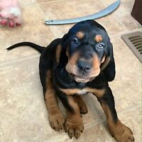 2 male black and tan hound pups