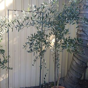 OLIVE TREE. Large leaf type Lathlain Victoria Park Area Preview