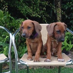 Rhodesian Ridgeback Purebred Puppies Maleny Caloundra Area Preview