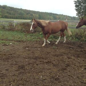 10 year old American quarter horse