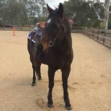 For Sale - Stock Horse x Arab Gelding Benalla Benalla Area Preview