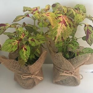 Just $5 each! Decorative  Coloured leaf plants in pots with hessian. Campbelltown Campbelltown Area Preview