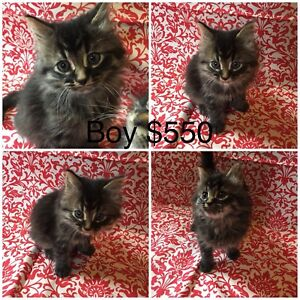 Maine Coon Hybrid kittens & Registered adult