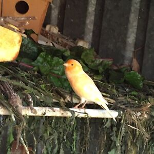 Canary good singers from