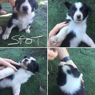 Pure bred long haired Border Collie pups