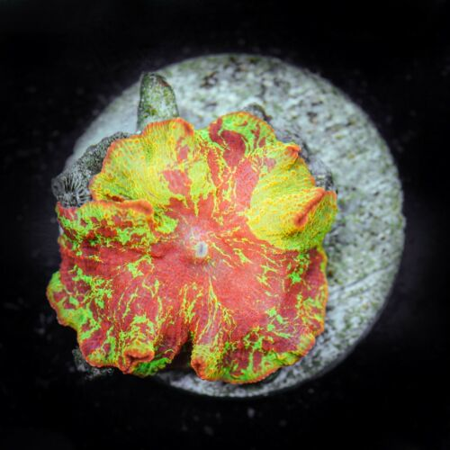 Master-grade Eclectus Mushroom - Coral Frag - WYSISYG - Soft Coral