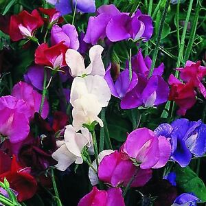 SWEET PEA FLOWER SEEDS - ROYAL - BULK *****