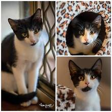 AK0976:  Chin - KITTEN for ADOPTION - Vet work included Leeming Melville Area Preview