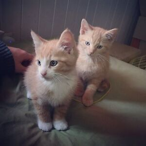 2 kittens for sale Sandgate Brisbane North East Preview
