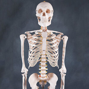 Human Skeleton Anatomical Model 180cm - Medical Anatomy, Life-size and Full Body