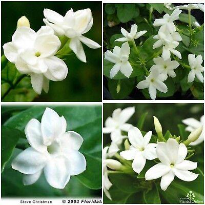 Jasmine Sambac~maid Of Orleans~tea Jasmine Fragrant Flowers Live Plants 2 To 5