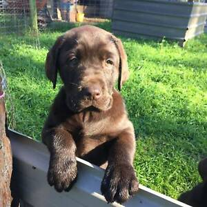 labradors in Castlemaine 3450, VIC | Dogs & Puppies