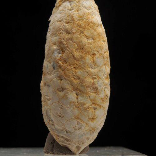 CHALCEDONY CONE - Pinus sp. - Paleogene - Bourdour - WESTERN SAHARA 1D99