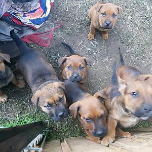 Rottweiler x bull mastiff puppies Mangrove Mountain Gosford Area Preview