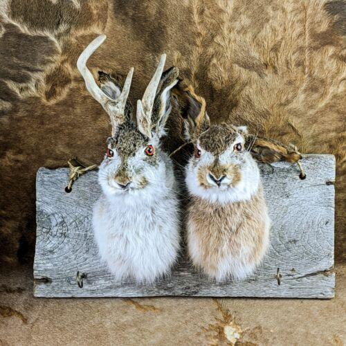 U69B Taxidermy Oddities Curiosities Jackalope Rabbit Head Mount mythical