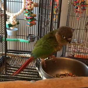Green Check Conures