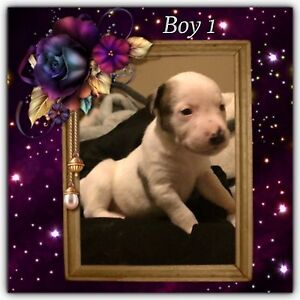 Puppy Tenambit Maitland Area Preview