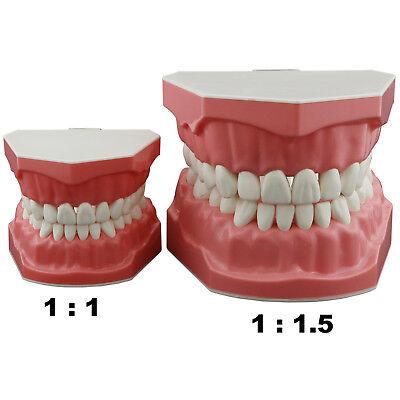 Dental Teeth Model Brushing Flossing Practice Demonstration Typodont Study Model