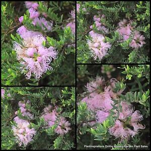 8 pink lace melaleuca thymifolia native plants hardy low for Hardy low maintenance shrubs