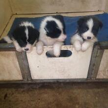 Pedigree Registered Border Collie Pups Glanmire Bathurst City Preview