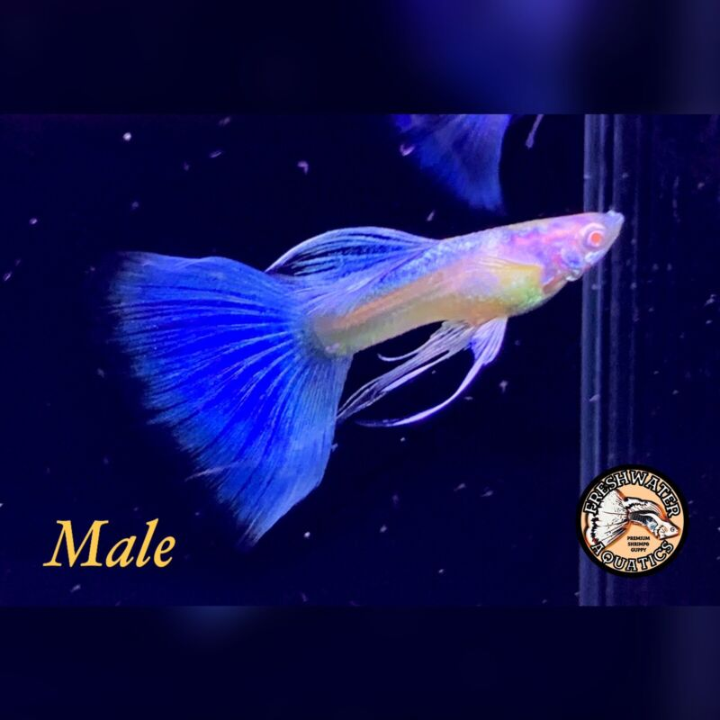 US Seller - 1 Trio - Albino Blue Topaz - Premium High Grade Quality Guppy
