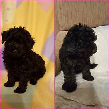 Beautiful male toy poodle puppy from reg breeder with papers Werribee South Wyndham Area Preview