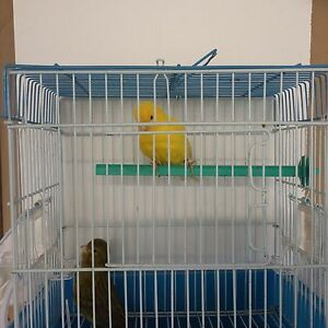 FIFE CANARIES FOR SALE Bankstown Bankstown Area Preview