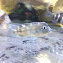 Lion head/hump head cichlid Padstow Bankstown Area Preview