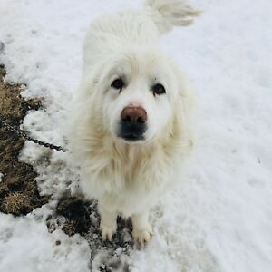 2 great pyrenees need a new home