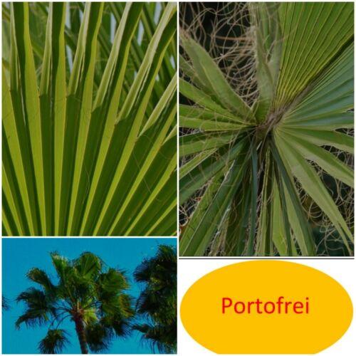 1x Washingtonpalme Washingtonia Robusta ca.100 cm Palme Balkon Garten winterhart