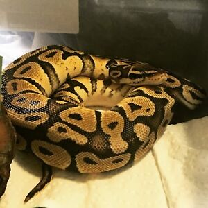 Female Mimosa Ball Python & Female Pastel Ball Python