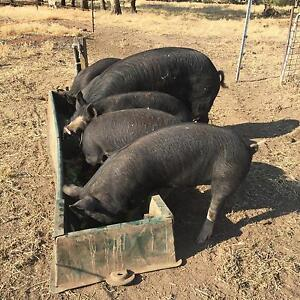 Pigs for sale Kojonup Pallinup Area Preview