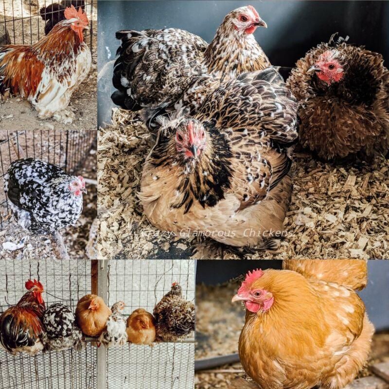 Calico Bantam Cochin Hatching Eggs 6+ NPIP/AI Clean - PREORDER