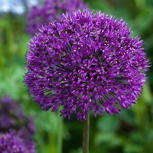 PRE-ORDER -10 X Allium Purple Sensation bulbs. A great all round Allium. Spring
