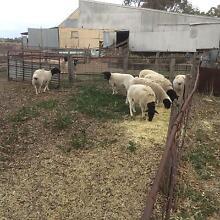 9 Dorper ewes Ravenswood South Mount Alexander Area Preview