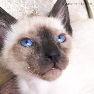 BEST HIGH QUALITY SIAMESE KITTENS