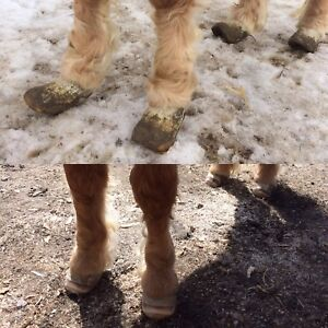Farrier- Natural Barefoot Trimming