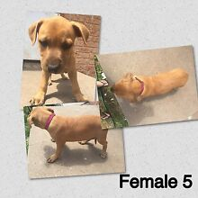 American staffy puppies *ready to go now* Maitland Maitland Area Preview