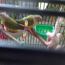 Conures pair Medowie Port Stephens Area Preview