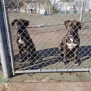 Kelpie cross mastiff / wolfhound Picton Wollondilly Area Preview